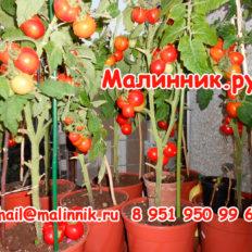 Томат Балконное Чудо Красное