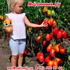 Томат Воловье Сердце Минусинское