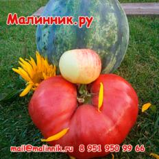 """Томат """"МИНУСИНСКИЙ БЕЗРАЗМЕРНЫЙ"""""""