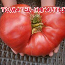 ТОМАТЫ-ГИГАНТЫ