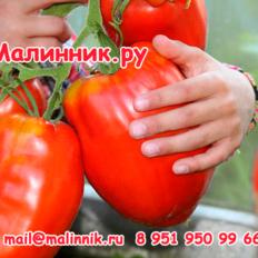 "Томат ""ПОЛЬСКАЯ СЛИВА ТЁТУШКИ СВАРЛО"" фото"