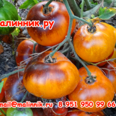 """Томат """"СИНИЙ АНАНАС"""" фото"""