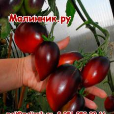 """Томат """"ПАСКАЛЬ ИЗ ПИКАРДИИ"""" фото"""