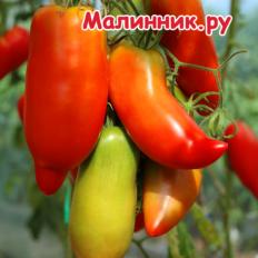 """Томат """"МИНУСИНСКИЙ ПЕРЦЕВИДНЫЙ КРАСНЫЙ"""" фото"""