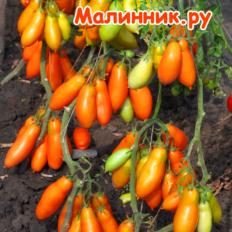 """Томат """"ЗОЛОТЫЕ ВЕТКИ"""" фото"""